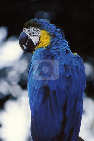 Blue and Gold Mccaw stock photo, Beautiful Blue and gold Mccaw from back with head turned showing facial features by Joseph Ligori