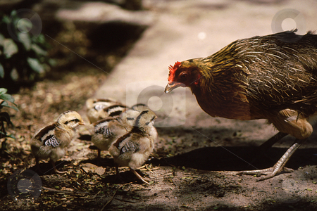 Baby chicks and mom stock photo, Chicken with baby chicks appears to be telling chicks what to do by Joseph Ligori