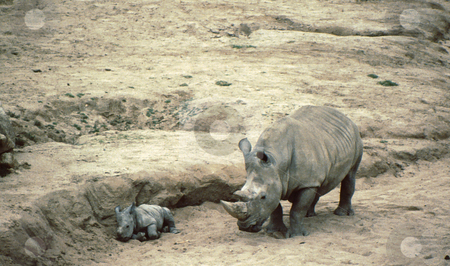 Rhino and baby stock photo, White Rhino and baby of only a few days in habitat by Joseph Ligori