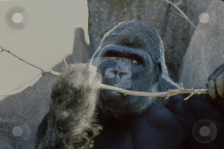 Gorilla with branch stock photo, Gorilla in habitat holding and chewing on tree branch by Joseph Ligori
