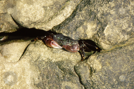 Crabs hiding in rocks stock photo, Colorful crabs hiding in rock crevices along shore by Joseph Ligori