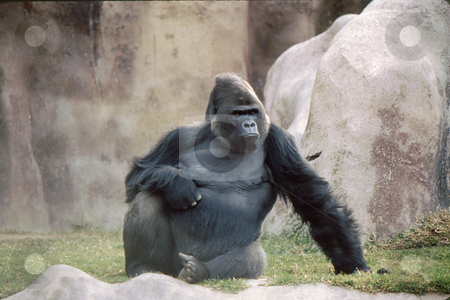Gorilla frontal pose stock photo, Groilla sitting in habitat with full frontal pose by Joseph Ligori