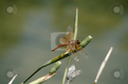 Dragonfly stock photo, Orange Dragonfly perched on a flower pod by Joseph Ligori