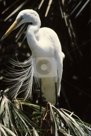 Snowy Egret stock photo, Snowy Egret perched on branch with feathers flowing in wind by Joseph Ligori