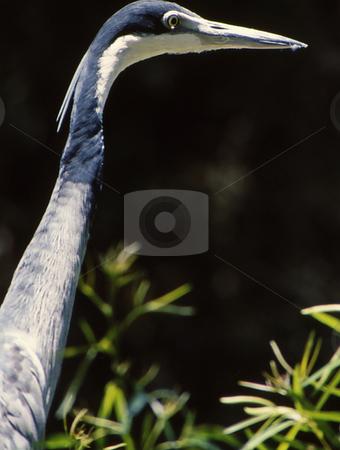 Gray Crane Long Neck stock photo, Closeup of long neck and head of crane by Joseph Ligori