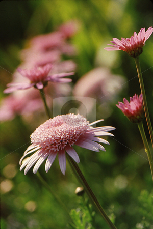 Pink Daisy splendor stock photo, Pink daisy with dense and detailed center with pink daisy background by Joseph Ligori
