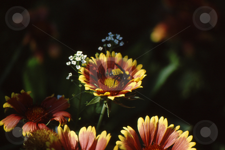 Flower with bee top view stock photo, Yellow and red flow with bee inside top view by Joseph Ligori