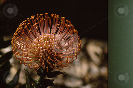 Orange Bloom stock photo, Unusual bloom from succulent plant with orange extensions by Joseph Ligori
