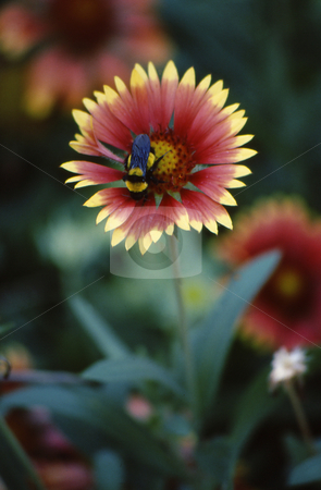 Flower with bee stock photo, Red and yellow Flower with bee inside collecting pollen front view by Joseph Ligori