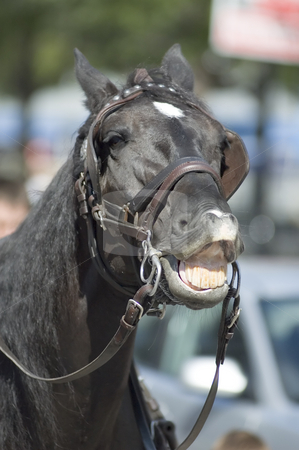 Horse stock photo, Close-up of a black horse showing his teeth by Vlad Podkhlebnik