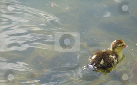 Baby duck swimming on a lake stock photo,  by Mbudley Mbudley