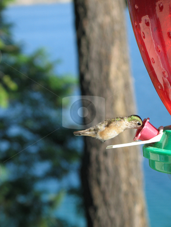 Hummingbird drinking out of a feeder stock photo,  by Mbudley Mbudley