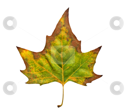 Leaf of fall stock photo, One leaf is enough to represent season like Autumn. by Sinisa Botas