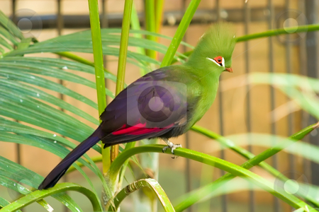 Green Crested Turaco On A Branch stock photo, Green Crested TUraco from Africa sitting on a branch by Johan Knelsen