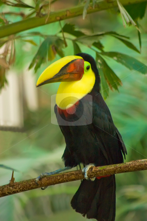Chestnut Mandibill Toucan stock photo, A Chestnut Mandibill Toucan sitting on a branch by Johan Knelsen
