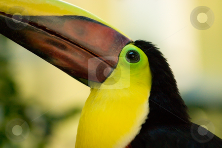 Yellow Chestnut Mandibill stock photo, A Chestnut Mandibill Toucan sitting on a branch by Johan Knelsen