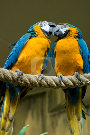 Blue Gold Macaw Couple stock photo, Two beatiful Blue & Gold Macaw one is grooming the other by Johan Knelsen
