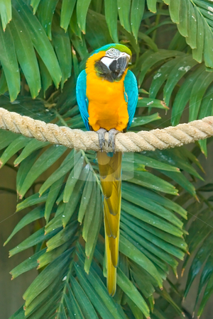Golden Blue Macaw stock photo, A beatiful Blue & Gold Macaw sitting ona rope by Johan Knelsen