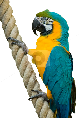 Colorful Macaw On A Rope stock photo, A beatiful Blue & Gold Macaw Hanging onto a rope by Johan Knelsen