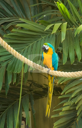 Blue & Gold Macaw stock photo, Blue & Gold Macaw sitting on a rope with green leaves in the background by Johan Knelsen