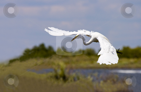 Egret Ballet stock photo, A Great Egret  airborne and moving with grace. These gangly creatures look clumsy as they take flight but once in the air they glide with ease. by Mike Dawson