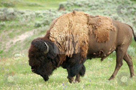 Yellowstone Bison stock photo, Strong bison at yellowstone national park eating grass by Nilanjan Bhattacharya