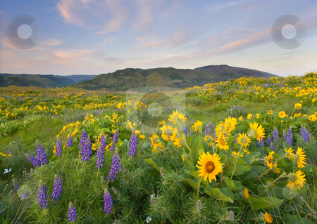 Meadow of Spring stock photo, A meadow filled with Lupine and balsamroot glows with color under the setting sun from the Rowena Plateau looking North across the Columbia River to the hills of Washington by Mike Dawson