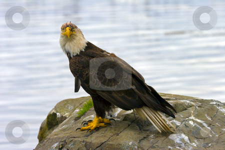 Dirty Bird stock photo, A dirty faced bald eagle glares at the camera as if to say what are you looking at? by Mike Dawson