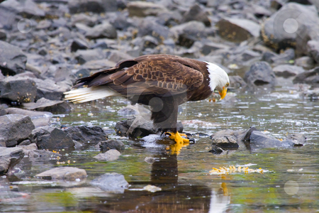 Mirror, Mirror stock photo, An Adult Bald Eagle appears o be admiring himself in the tidepools along the Sitka harbor. by Mike Dawson