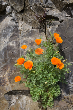 Wild California Poppies stock photo, Wild California Poppies growing in the cracks in a basalt cliff in the Columbia River Gorge by Mike Dawson