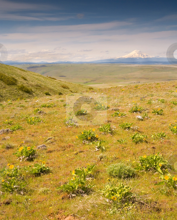 From Distant Meadows stock photo, Mt. Adams from the top of Dalles Mountain with the Klickitat Valley below. Balsamroot dots the hillside. by Mike Dawson