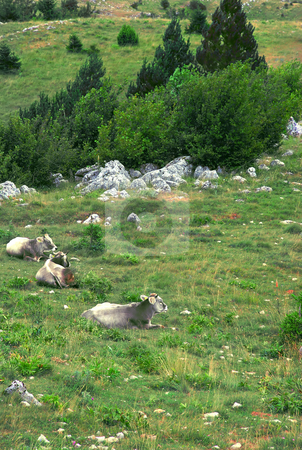 Cows over mountain meadow stock photo, Gray cows relaxing over green mountain landscape by Julija Sapic