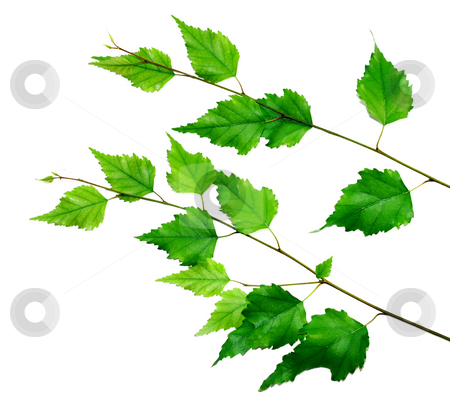 Green branch stock photo, Green birch brach isolated over white background by Julija Sapic