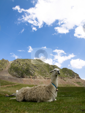 Llama lying down  stock photo, Llama lying down on the grass with mountains on the background by Laurent Dambies