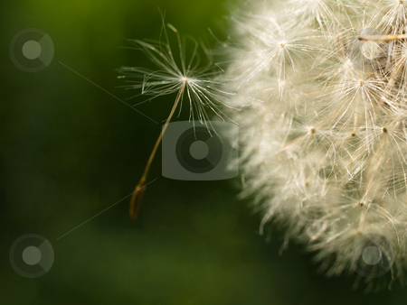 Dandelion macro stock photo, Macro of a dandelion with a seed coming out from the side by Laurent Dambies