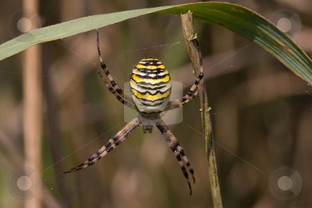 Wasp Spider stock photo, Closeup of a wasp spider haning on to grass by Inge Schepers