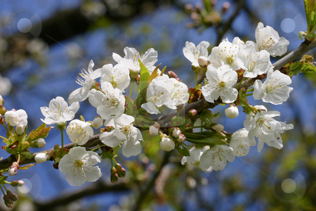 White Apple Blossoms stock photo, White apple blossoms against a blue sky by Inge Schepers