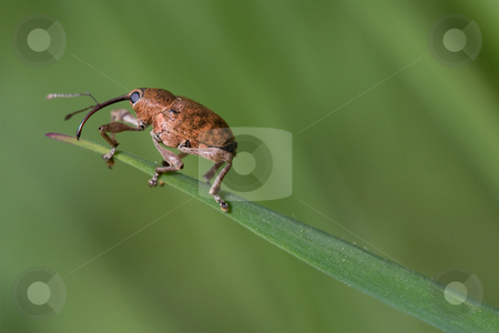 Weevil stock photo, Closeup of a weevil climbing in grass and reaching the top by Inge Schepers