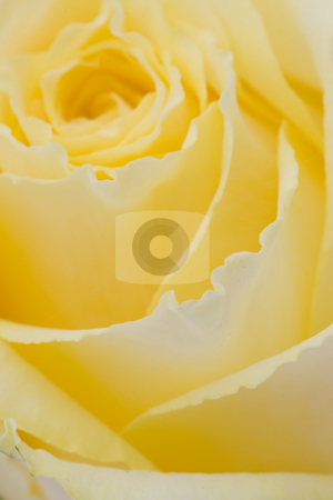 Yellow Rose stock photo, Closeup photo of a yellow rose with shallow depth of field by Inge Schepers
