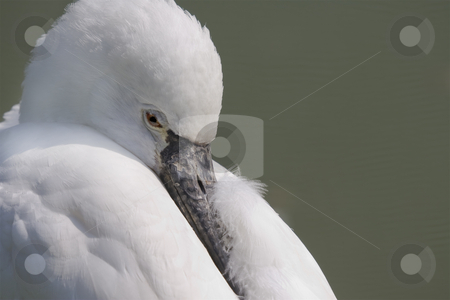 Spoonbill stock photo, Closeup photo of a spoonbill about to doze off by Inge Schepers