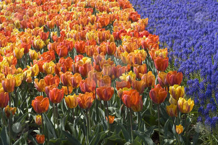 Colorful Dutch Tulips stock photo, Colorful Dutch tulips in Spring by Inge Schepers