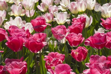 Dutch Tulips stock photo, Pink Dutch tulips in Spring by Inge Schepers