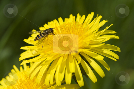 Insect on Dandelion stock photo, Insect on a bright yellow Dandelion flower by Inge Schepers