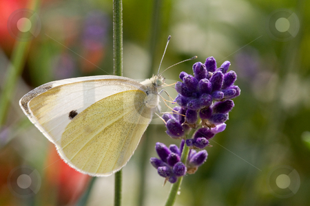 Butterfly on Flower stock photo, Cabbage White butterfly on purple flower by Inge Schepers