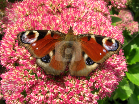 Colorful European peacock butterfly (Inachis io) on a sedum flower. stock photo, Colorful European peacock butterfly (Inachis io) on a sedum flower. by Stephen Rees
