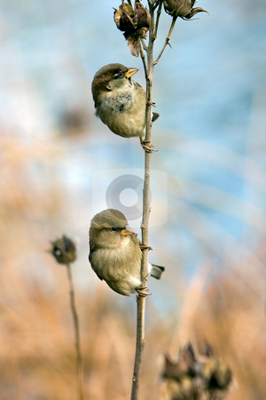 Two Sparrows stock photo, Two house sparrows hanging on one branch. by Paul Hakimata