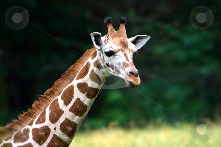 Cute Giraffe face stock photo, A Giraffe's long neck and head on a blurry green grass field background. by Paul Hakimata