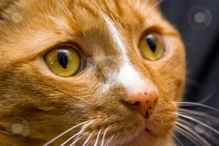Cat's eye stock photo, An orange cat looking to the right, close-up of the eye. by Paul Hakimata