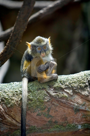Loneliness stock photo, A baby Wolf's Monkey sitting all alone with an expression of loneliness. by Paul Hakimata