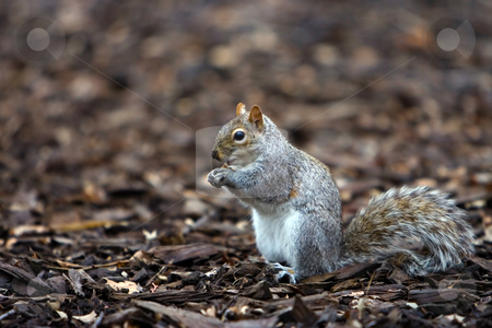Squirrel eating stock photo, Squirrel eating a nut it just found. by Paul Hakimata